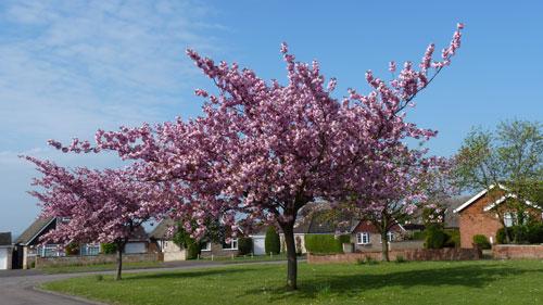 cherry-blossom-500x281